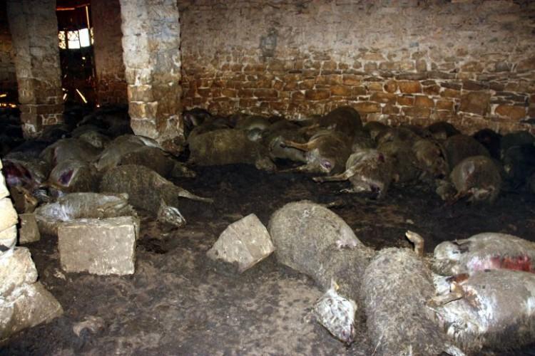 ovejas muertas Lleida Seròs