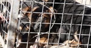 Los cachorros dentro de la jaula (Foto: ACN)
